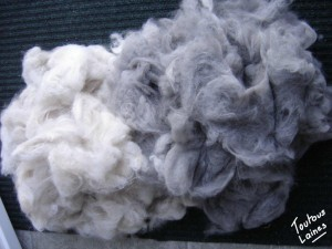 Récolte poils de chats persans bleus et crème